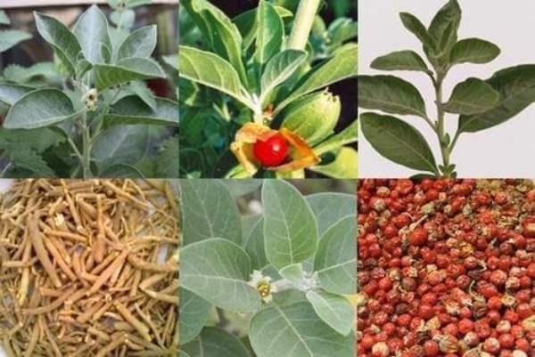 11 فائدة من نبتة أشواغاندا – 5 مكملات اشواغاندا أقراص وشاي